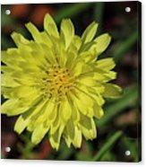 Little Wild Yellow Acrylic Print