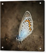 Little Wing Acrylic Print