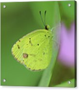 Little Yellow Butterfly Close-up Acrylic Print