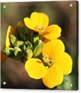 Little Yellow Flowers Acrylic Print