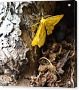 Little Yellow Moth Acrylic Print