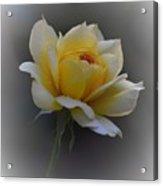 Little Yellow Rose Acrylic Print