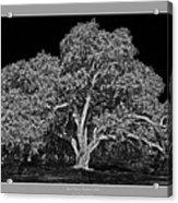 Live Oak At Hogan's Hole- Lion's Golf Course Acrylic Print