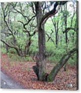 Live Oak Forest Acrylic Print