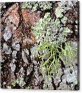 Live Oak Lichen II Acrylic Print