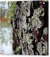 Live Oak Lichen Acrylic Print