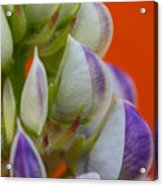 Lively Lupine Acrylic Print