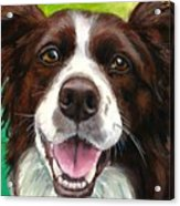 Liver And White Border Collie Acrylic Print by Dottie Dracos