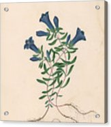 Liverpool Gentian With One Insect Acrylic Print