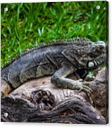 Lizard At The Zoo Acrylic Print