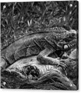Lizard-bw Acrylic Print