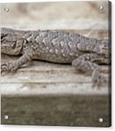 Lizard On Deck Acrylic Print