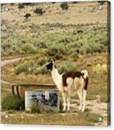 Llama Land Acrylic Print