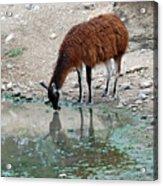 Llama Sip Acrylic Print