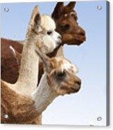 Llama's Three Acrylic Print