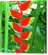 Lobster Claw Heliconia Acrylic Print