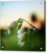 Local Wildflower Acrylic Print