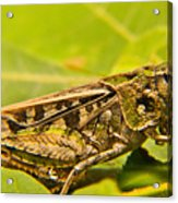 Locust In Green Acrylic Print