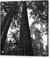 Lofty Tree Acrylic Print