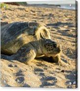 Loggerhead Sea Turtle Returning To The Ocean Acrylic Print