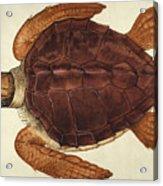 Loggerhead Turtle, 1585 Acrylic Print