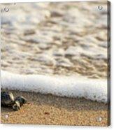 Loggerhead Turtle Hatchling 3 Delray Beach Florida Acrylic Print