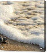 Loggerhead Turtle Hatchling 4 Delray Beach Florida Acrylic Print