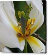 London White Tulip Acrylic Print