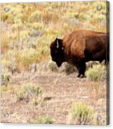 Lone Buffalo  Acrylic Print