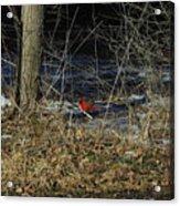 Lone Cardinal Acrylic Print