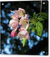 Lone Cherry Blossoms Acrylic Print