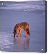 Lone Coyote On The Shore Of Lake Superior Acrylic Print