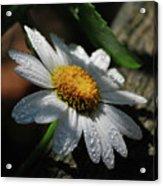Lone Daisy Acrylic Print