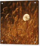 Lone Dandelion Acrylic Print