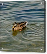 Lone Duck Swimming On A River Acrylic Print by Todd Gipstein