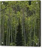 Lone Evergreen Amongst Aspen Trees Acrylic Print