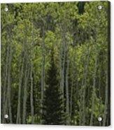 Lone Evergreen Amongst Aspen Trees Acrylic Print by Raymond Gehman