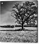Lone Oak Tree In Black And White Acrylic Print