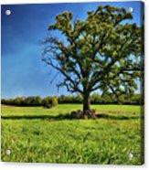 Lone Oak Tree In Wisconsin Field Acrylic Print