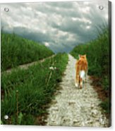 Lone Red And White Cat Walking Along Grassy Path Acrylic Print