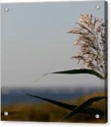 Lone Seagrass Acrylic Print