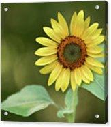 Lone Sunflower Acrylic Print