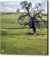 Lone Tree And Cows Acrylic Print