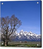 Lone Tree At Tetons Acrylic Print