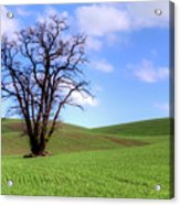 Lone Tree - Rolling Hills - Summer Sky Acrylic Print