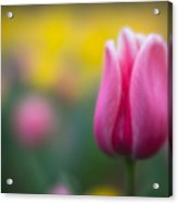 Lone Tulip Acrylic Print