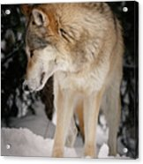 Lone Wolf IIi Acrylic Print