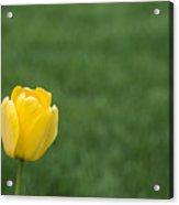Lone Yellow Tulip II Acrylic Print