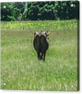 Lonely Cow 2 Acrylic Print