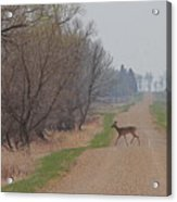 Lonely Deer Crossing Acrylic Print